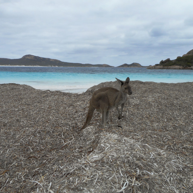 """Kangaroo on Beach"" stock image"
