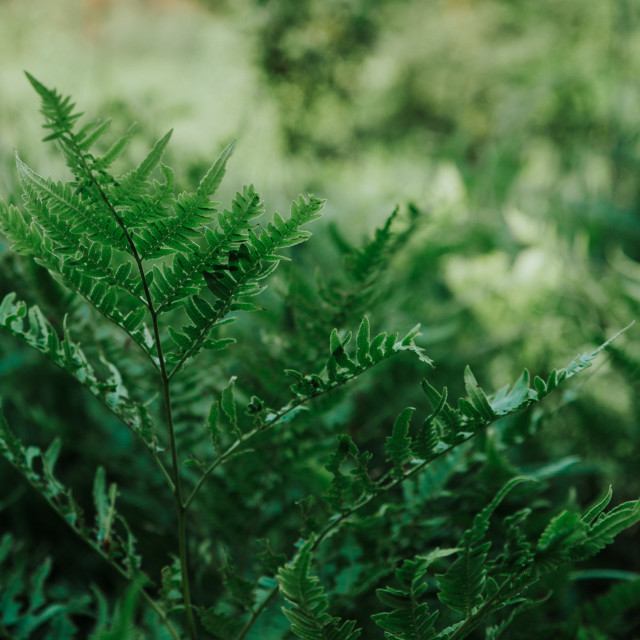 """close up on fern in the forest"" stock image"