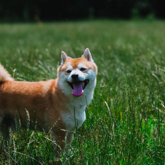 """close up on shiba inu dog on grass"" stock image"