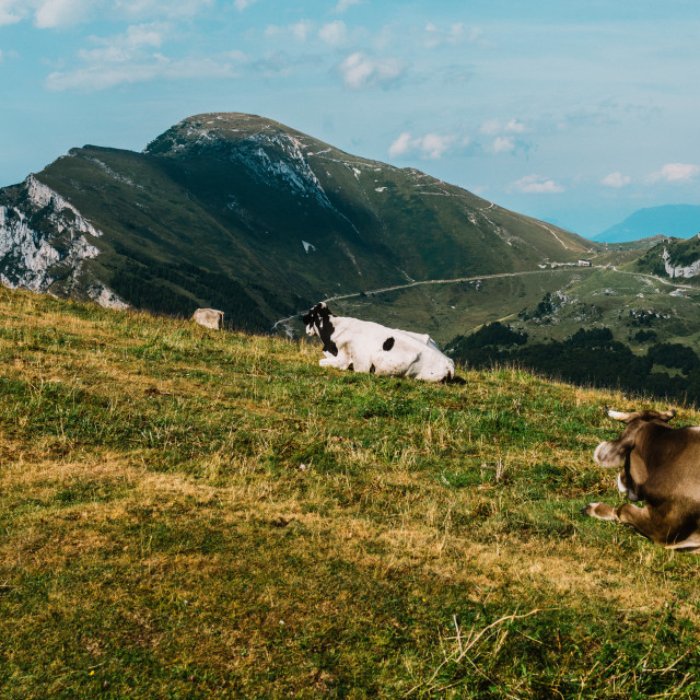 """cows in a meadow in the alps, Italy, Monte Baldo"" stock image"