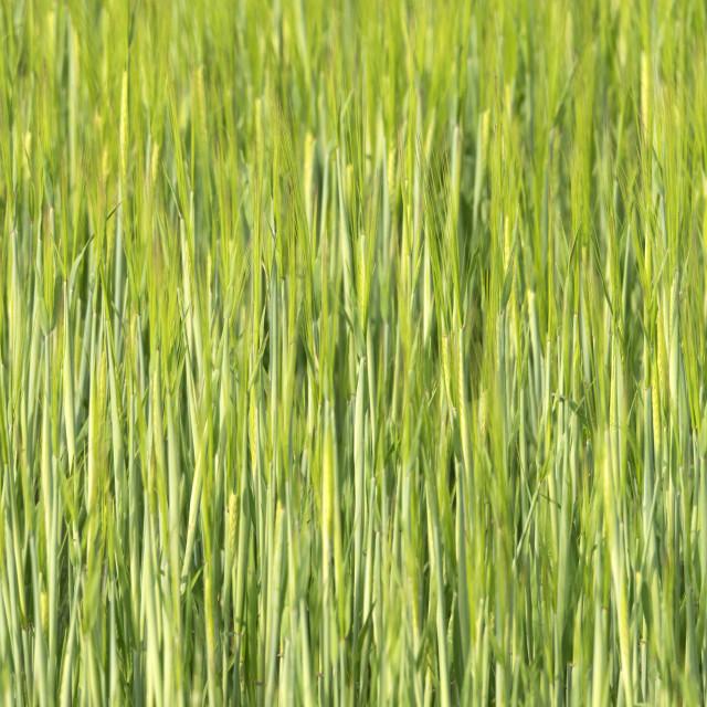 """Corn texture"" stock image"