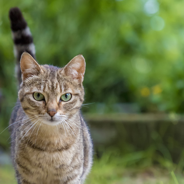 """Portrait of beauty wild cat"" stock image"
