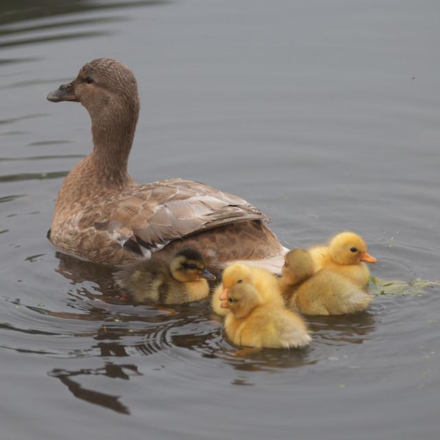 """Proud Mummy Duck"" stock image"
