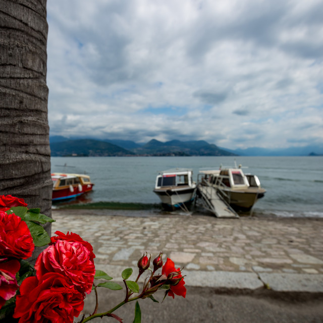 """Blooming red roses at shores of Lago di Maggiore"" stock image"