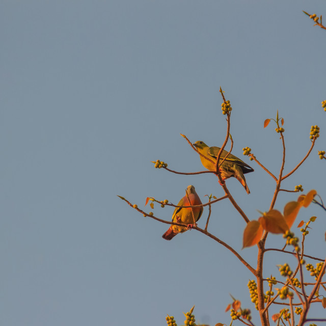 """""""Group of Pink-necked Green Pigeon (Treron vernans) birds are perching on leafless and full fruity of Bodhi tree branches. Selective focus"""" stock image"""