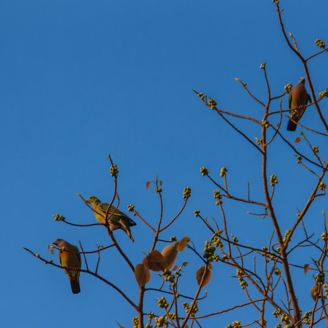 """""""Group of Pink-necked Green Pigeon (Treron vernans) birds are perching on..."""" stock image"""