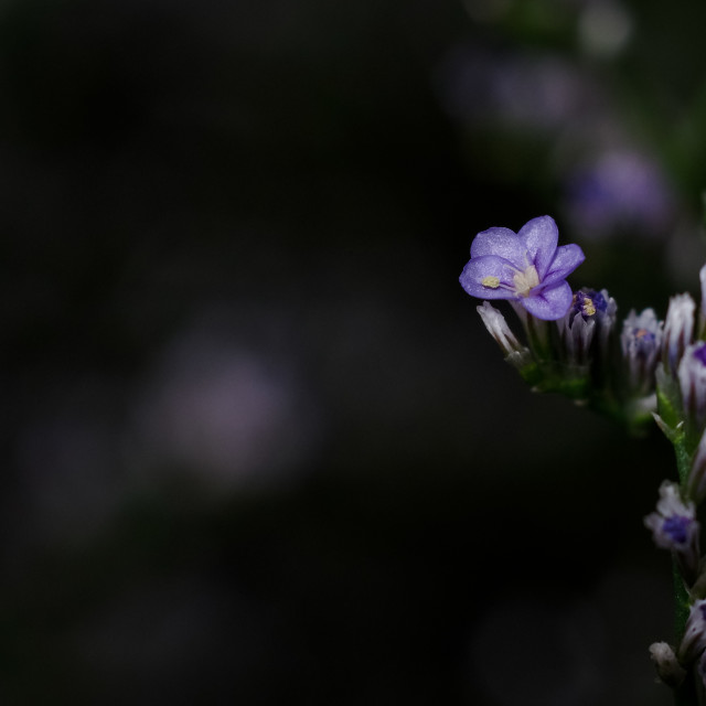 """Single tiny purple flower with dark background"" stock image"