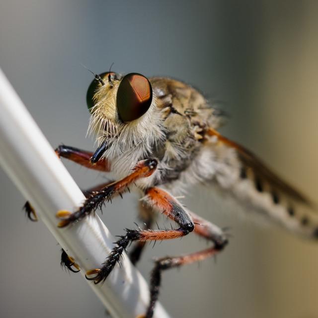 """""""Detail of killer fly"""" stock image"""