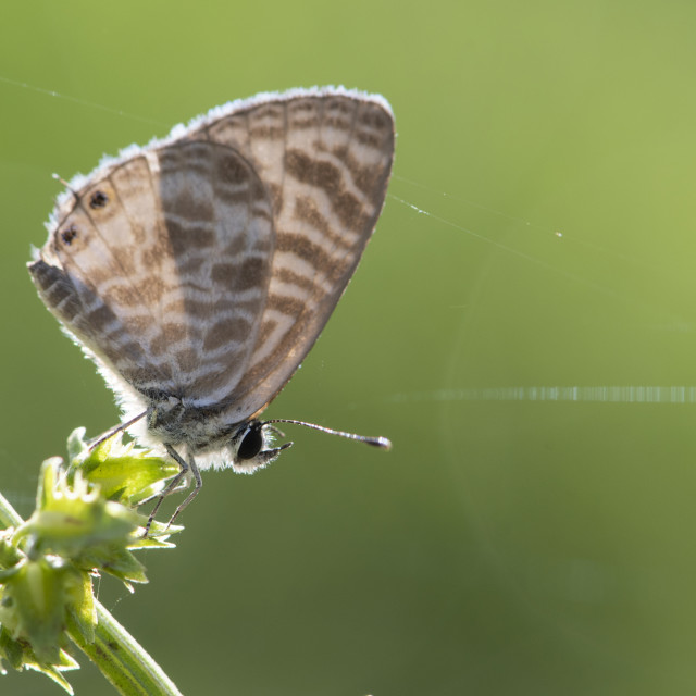"""Zebra Blue butterfly (Leptotes plinius)"" stock image"
