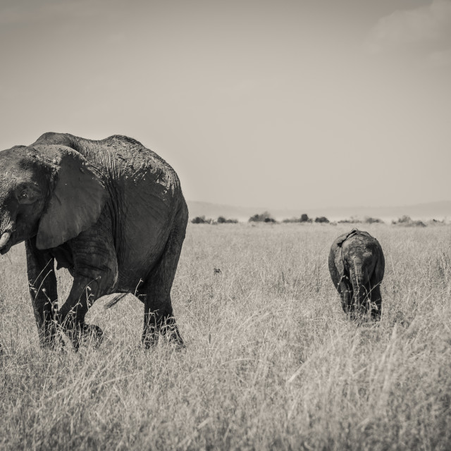 """""""An Elephant Leading the Way"""" stock image"""