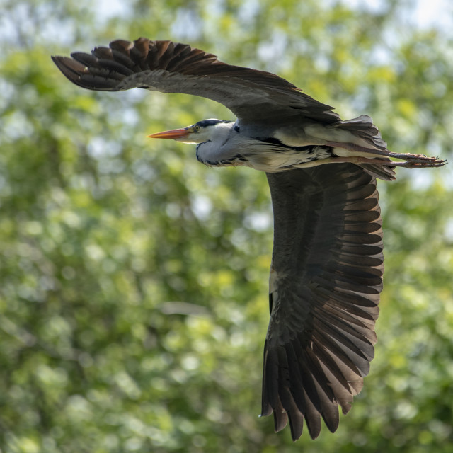 """Heron in full Flight"" stock image"