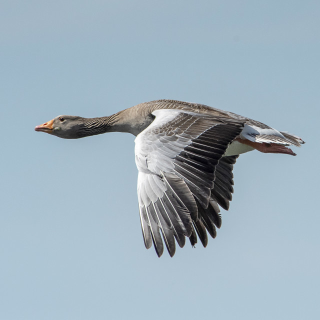 """Greylag Goose in Flight (II)"" stock image"