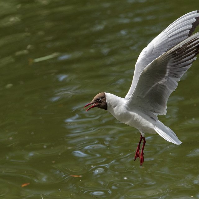 """Black Headed Gull (I)"" stock image"