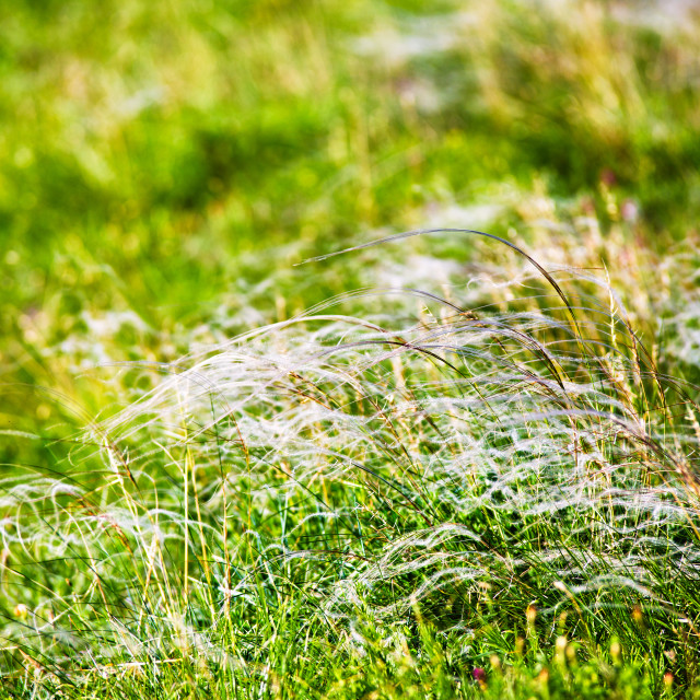"""Spring landscape, field of feather grass"" stock image"