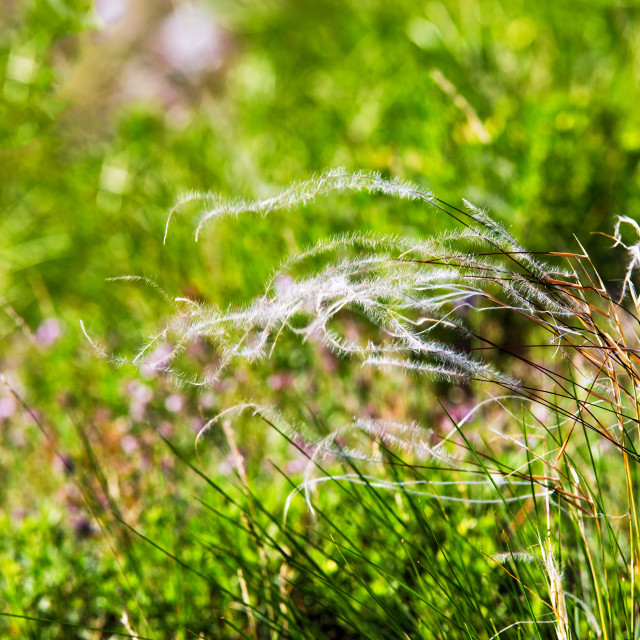 """Mat grass on a hot summer sultry day. field of feather grass"" stock image"