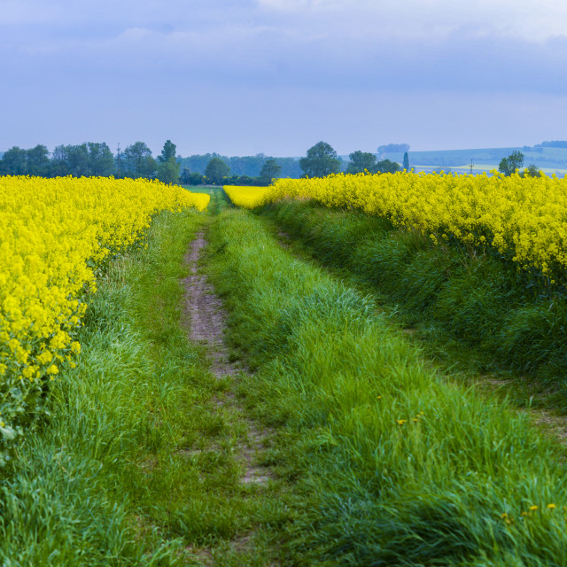 """road on the colza field"" stock image"