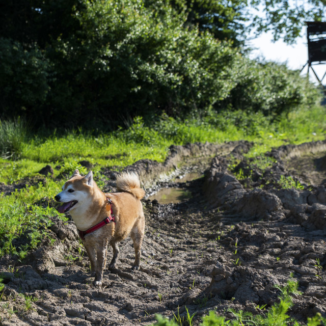 """shiba inu dog in the mud"" stock image"
