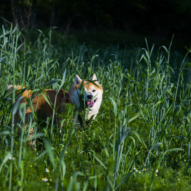 """shiba inu dog in the high grass"" stock image"