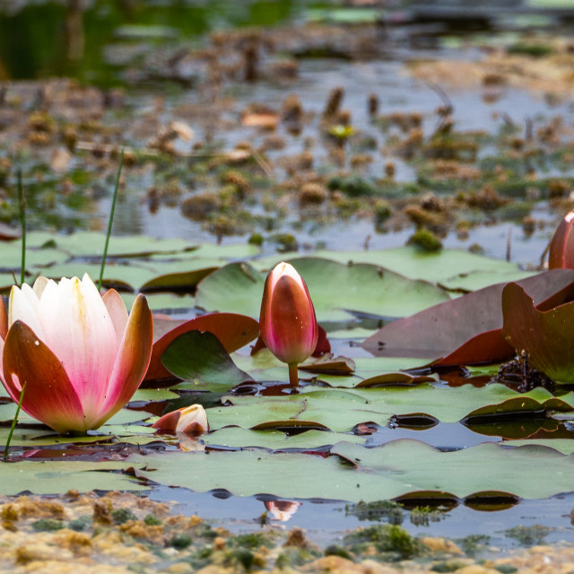 """""""Water Lily."""" stock image"""