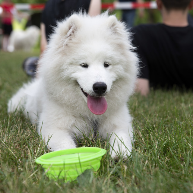 """close up on white samoyed dog on grass"" stock image"