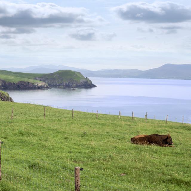 """dingle peninsula cattle on the wild atlantic way"" stock image"