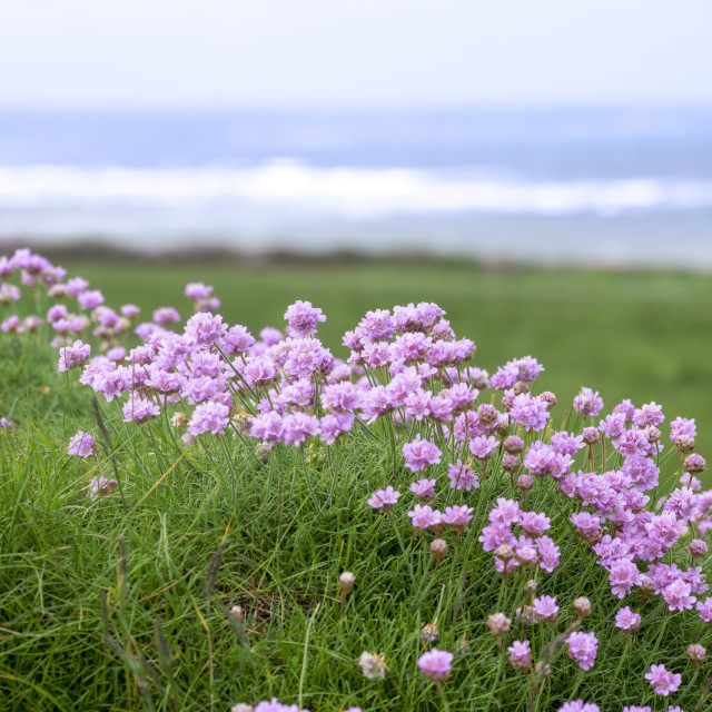 """""""wild flowers on the cliff walk"""" stock image"""