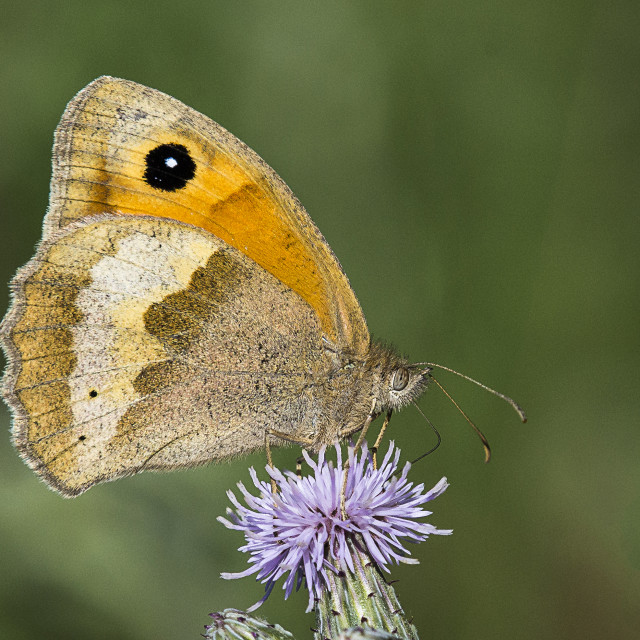 """2018 Meadow Brown Butterfly (I)"" stock image"