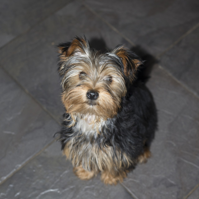 """""""young grey mini yorkie terrier"""" stock image"""