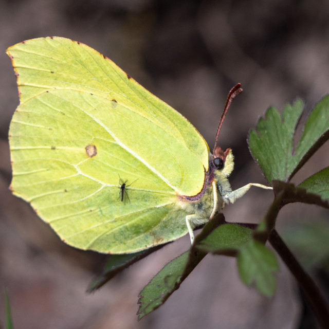 """""""Common brimstone butterfly"""" stock image"""