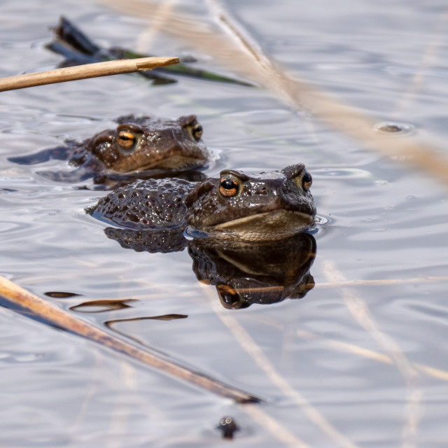 """""""Toads"""" stock image"""