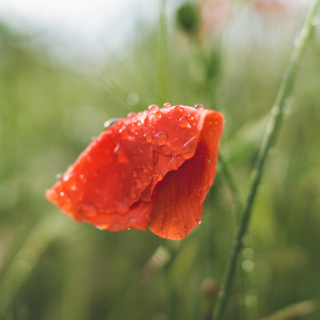 """""""The poppy"""" stock image"""