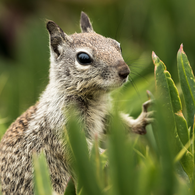 """Squirrel in the Tall Grass"" stock image"