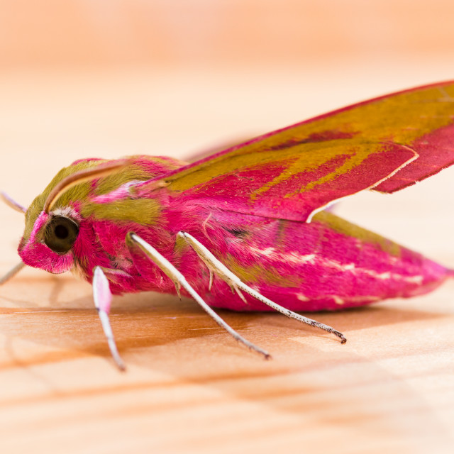 """Elephant Hawk-moth"" stock image"