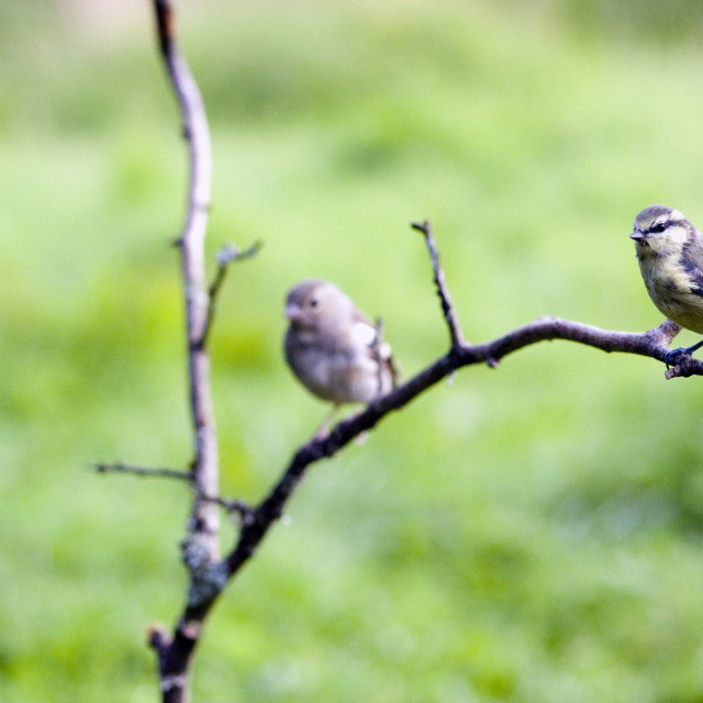 """Blue Tits on branch"" stock image"
