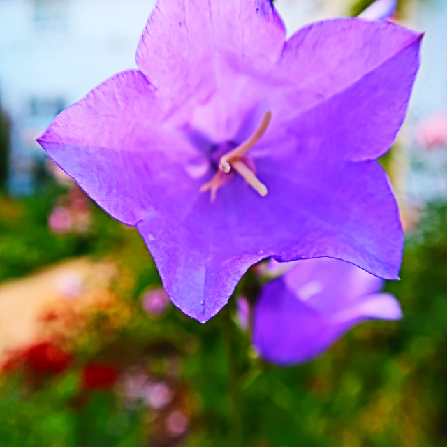 """Purple Macro Flower"" stock image"