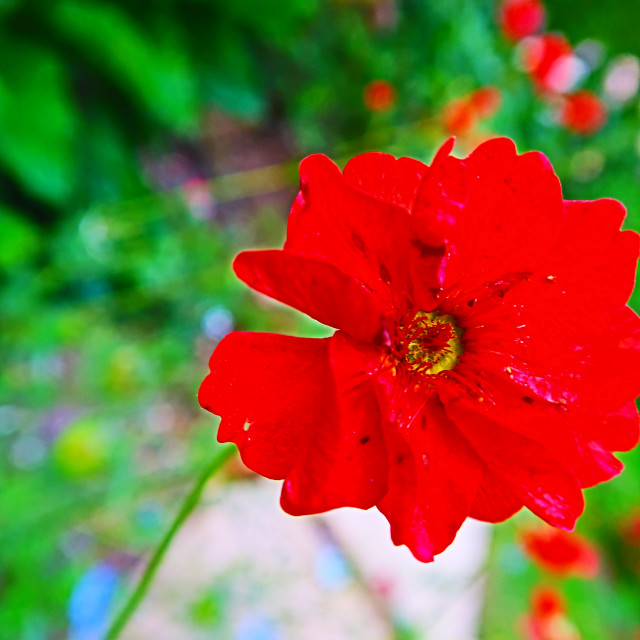 """Red macro flower"" stock image"