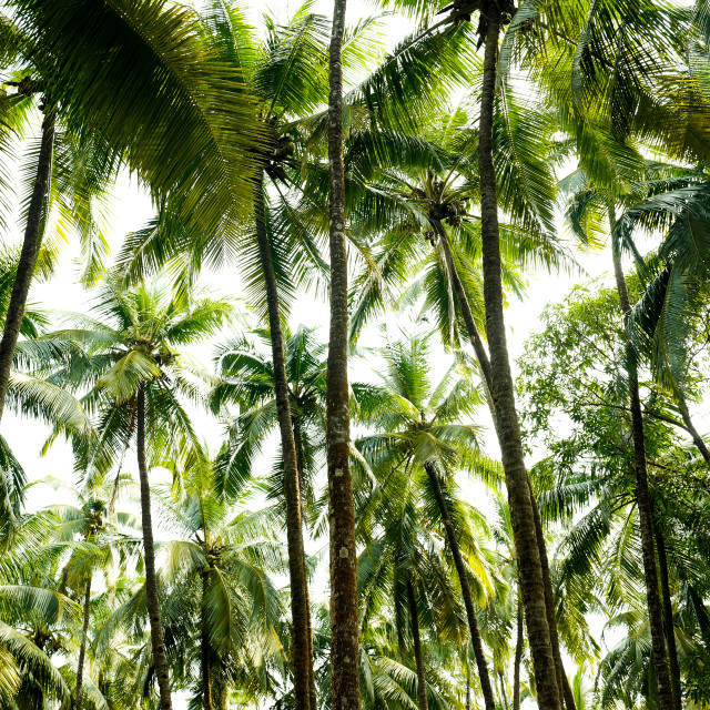 """Coconut sky, Talpona Goa India, 2017"" stock image"