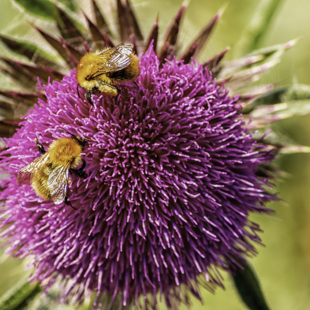 """BEES AT WORK."" stock image"