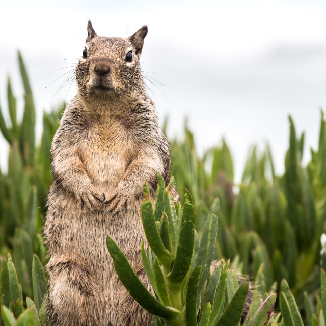 """Squirrel Standing Up"" stock image"