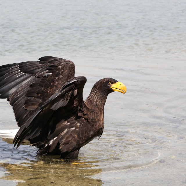 """White-tailed eagle in the water"" stock image"