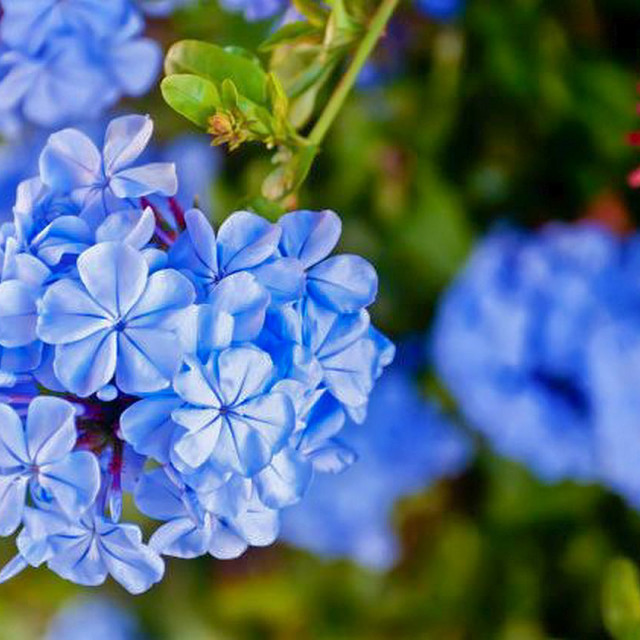 """Blue Phlox in bloom"" stock image"
