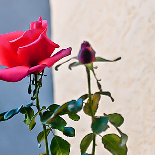 """Pink rose and bud"" stock image"