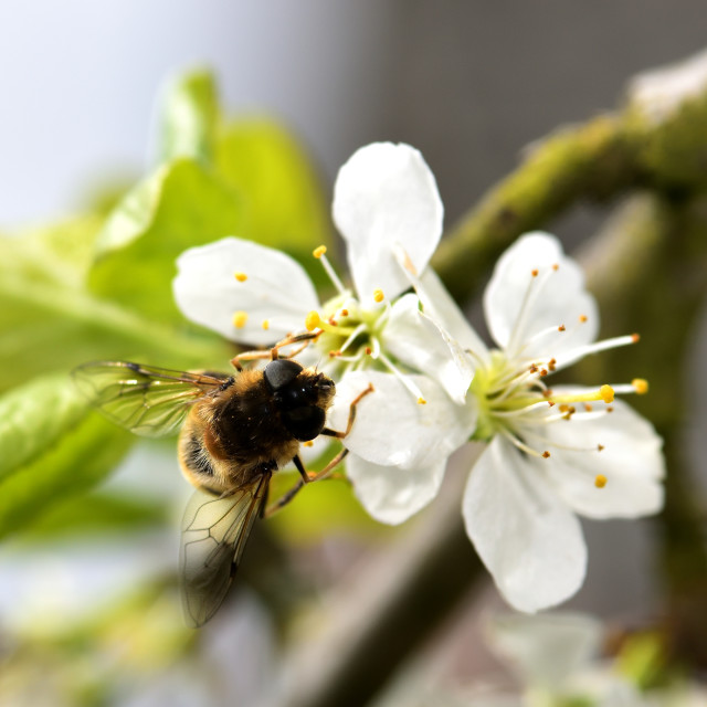 """""""Bee and the white blossom"""" stock image"""