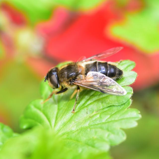 """Sunbathing wild honey bee"" stock image"