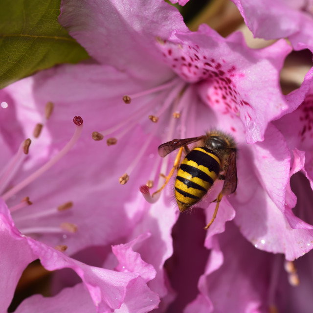 """""""Wasp and the Rhododendron"""" stock image"""