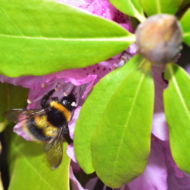 """""""Busy Bumble Bee"""" stock image"""