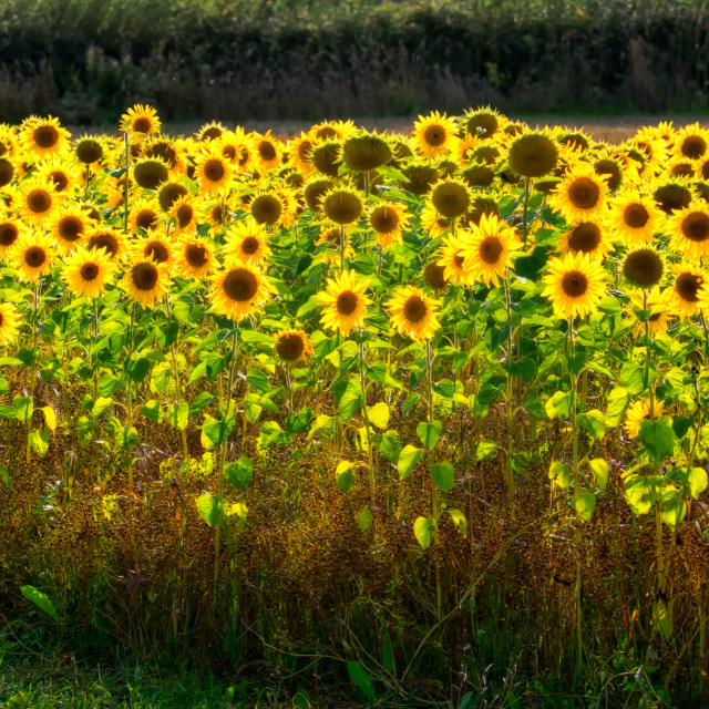 """Field of Sunflowers"" stock image"