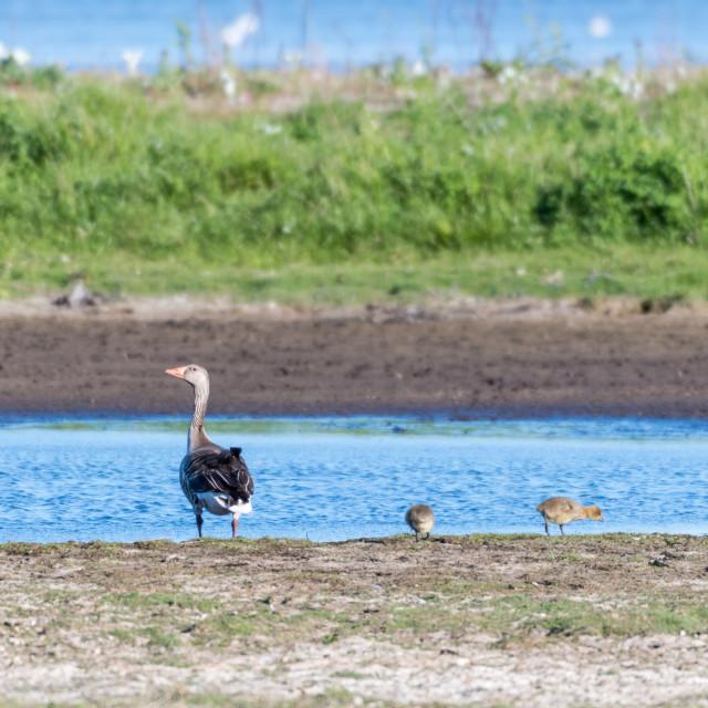 """Greylag Goose with chicks"" stock image"