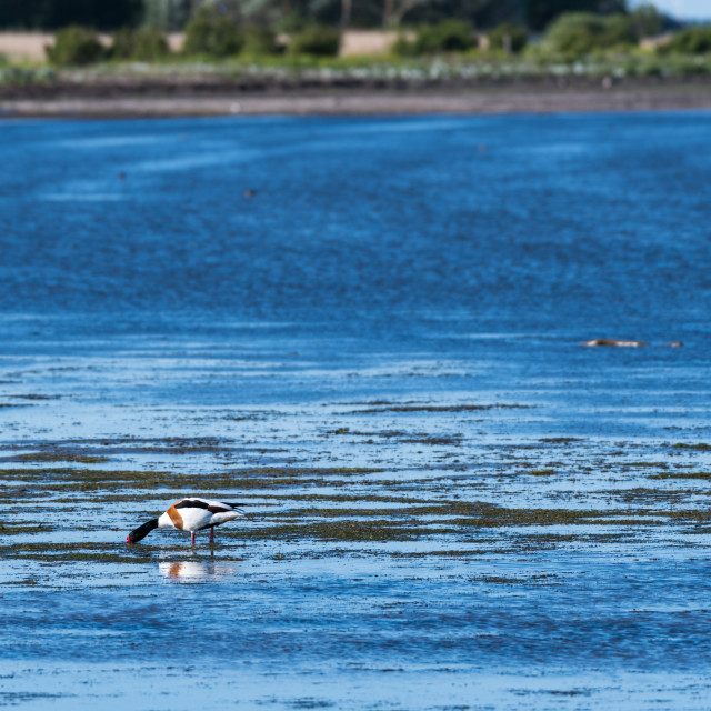 """Feeding Shelduck by the coast"" stock image"