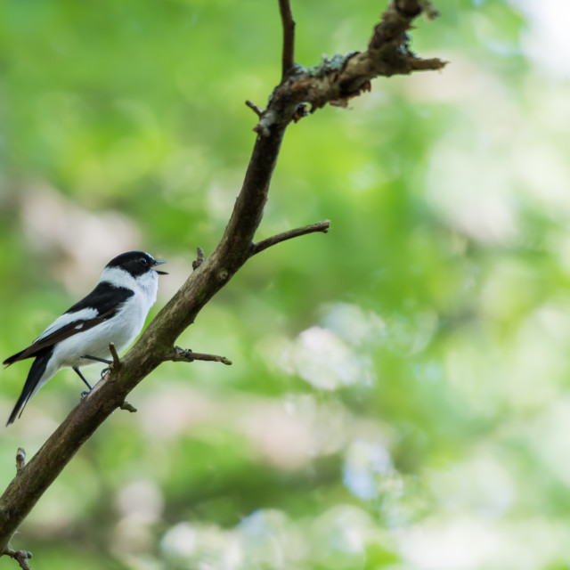 """""""Singing Collared Flycatcher in a bright forest"""" stock image"""